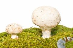 栖所采蘑菇自然他们 免版税库存图片