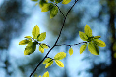 栗子发芽的叶子  库存照片