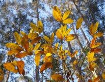 栗子叶子在秋天 免版税库存图片
