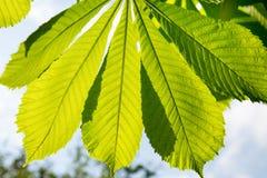 栗子叶子在阳光和用途的由后面照的情况下设计的 免版税库存照片