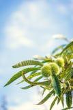 栗子和叶子在树 免版税库存照片