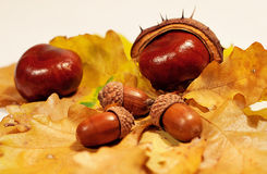栗子和橡子在叶子 免版税图库摄影
