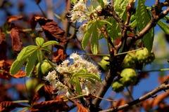 栗子和花在七叶树果实树 免版税库存照片