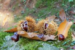 栗子在森林里 图库摄影