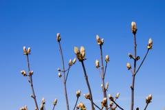 栗子在清楚的天空蔚蓝背景的芽树在春天 外面七叶树 库存照片