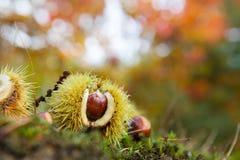 栗子在秋天森林里 图库摄影