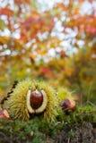 栗子在秋天森林里 库存图片