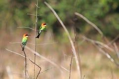 栗子带头的食蜂鸟 免版税库存图片