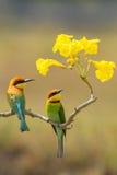 栗子带头的食蜂鸟画象夫妇  免版税库存照片