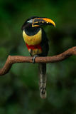 栗子有耳的Aracari, Pteroglossus castanostis,黄色和黑小toucan鸟在自然栖所 在tropi的异乎寻常的动物 库存照片