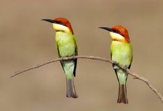 栗子朝向食蜂鸟食蜂鸟属leschenaulti 免版税库存照片