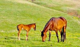 栗子母马和驹 库存图片