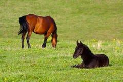 栗子母马和黑驹 库存图片