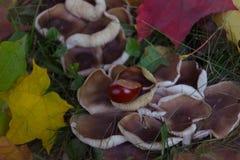 栗子用蘑菇 图库摄影