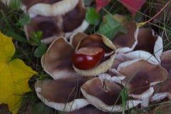 栗子用蘑菇 免版税库存图片