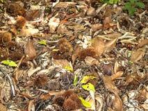 栗子自然纹理在地面上的 免版税图库摄影
