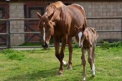 栗子良种马驹和warmblood母马在草木茂盛的牧场 图库摄影