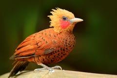 栗子色啄木鸟, Celeus castaneus,与红脸的肌力鸟从哥斯达黎加 与黄色冠和红色fac的啄木鸟 库存图片