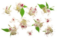 栗子花或七页树属hippocastanum,与在白色背景隔绝的叶子的七叶树果实树 库存照片
