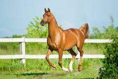 栗子阿拉伯公马奔跑在小牧场释放在夏天 免版税库存图片