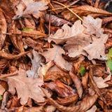 栗子,槭树,橡木,金合欢下落的叶子  布朗,红色,桔子和gren秋叶背景 免版税库存照片