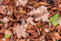 栗子,槭树,橡木,金合欢下落的叶子  布朗,红色,桔子和gren秋叶背景 免版税库存图片