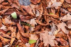 栗子,槭树,橡木,金合欢亚伦叶子  布朗,红色,桔子和gren秋叶背景 免版税库存图片