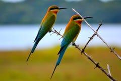 栗子-朝向的食蜂鸟,一点小于青被盯梢的 栗子冠、项和披风、黄色喉头和面颊 图库摄影