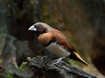 栗子breasted munia (Lonchura castaneothorax) 库存图片
