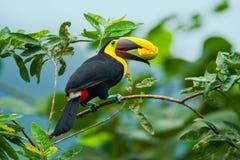 栗子mandibled toucan 图库摄影