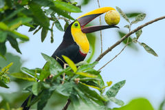 栗子mandibled toucan 免版税图库摄影