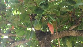 栗树、叶子和分支 免版税图库摄影