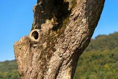 栗树树干-细节 库存照片