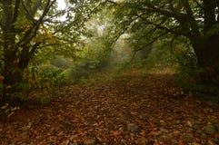 栗树森林非常叶茂盛充分在地面上的栗子在Medulas的一有雾的天 自然,旅行,风景 免版税库存照片