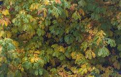 栗树的秋叶 图库摄影