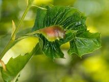 栗树,叶子胆汁 导致由Dryocosmus kuriphilus 免版税库存照片