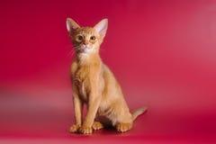 栗色埃塞俄比亚人小猫 免版税库存图片
