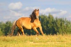 栗色马在花卉草甸疾驰 库存照片