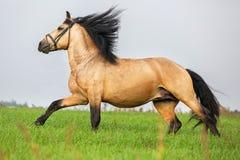 栗色马奔跑疾驰在草甸 免版税库存照片