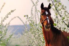 栗色马画象在开花的春天庭院里 库存图片