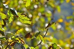 核桃叶子在秋天 库存图片