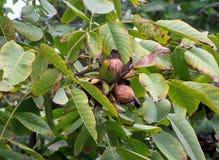 核桃树冠照片用被种植的核桃 免版税库存图片