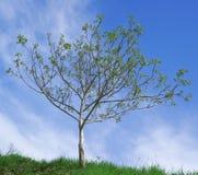 核桃树授粉 库存图片