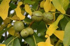 核桃树用成熟果子,捷克,欧洲 免版税库存图片