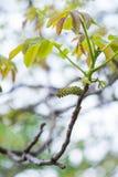核桃树花在春天 库存照片