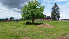 核桃树 库存图片