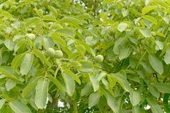 核桃树 免版税图库摄影