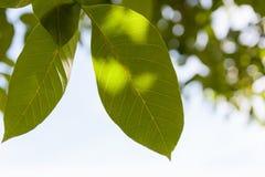 核桃的叶子 免版税库存照片