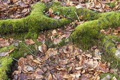 根、青苔和下落的叶子 免版税库存照片