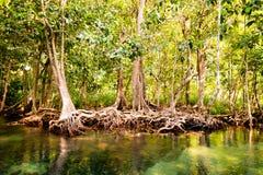 根和水晶小河。淡水遇见从美洲红树森林的海水, Krabi,泰国 免版税库存图片